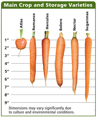 Main Crop & Storage Carrots Comparison Chart