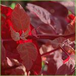 Red Orach - aka Mountain Spinach