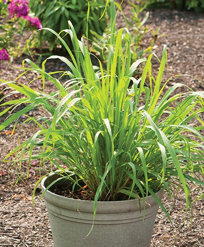 West Indian lemon grass plants (Cymbopogon citratus), grown from bare-root plants.