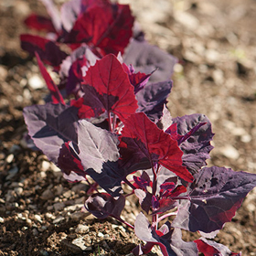 How to Grow Orach