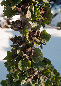 Kalettes in the Snow