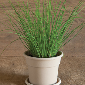 How to Grow Chives Seed Disks