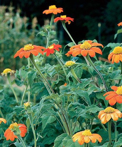The hot-orange flowers of tithonia, also known as Mexican sunflower, brighten the summer cutting garden.