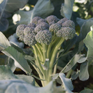Monflor Broccoli