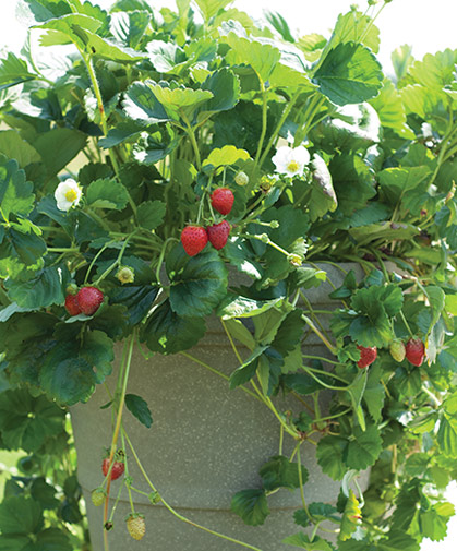 Container planting of 'Elan' strawberries, a day-neutral variety offered in two forms: seed or vegetatively propagated, organic plugs.