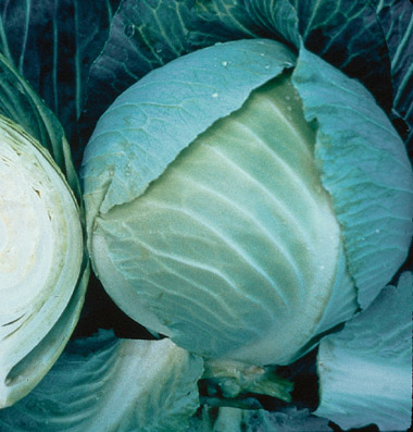 Storage No. 4 Cabbage