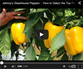 Greenhouse Peppers