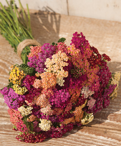 These brightly-colored yarrow flowers retain their dramatic hues when dried for use in bouquets and crafts.