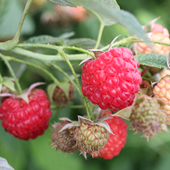 Encore Raspberry Plants