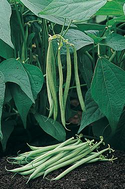 Tavera Filet Bean