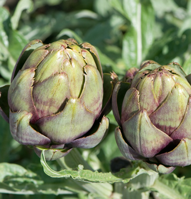 Colorado Artichoke
