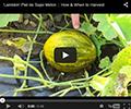Lambkin Piel de Sapo Melon