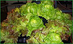 'Living Lettuce' Display