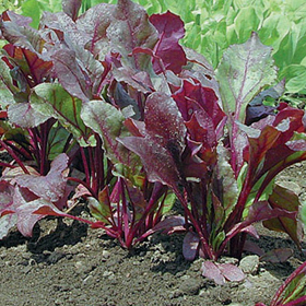 How to Grow Pelleted Beets