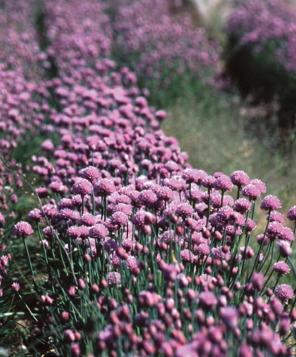 A row of standard chive plants  Allium schoenoprasum  in bloom and ready for harvesting for fresh, freezing, or dry use.
