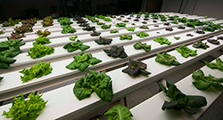 Many lettuce varieties perform admirably in NFT hydroponic systems