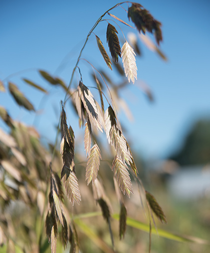 Panicle of 'Northern Sea Oats' (Chasmanthium latifolium), grown as an ornamental grass.