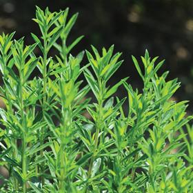 How to Grow Winter Savory