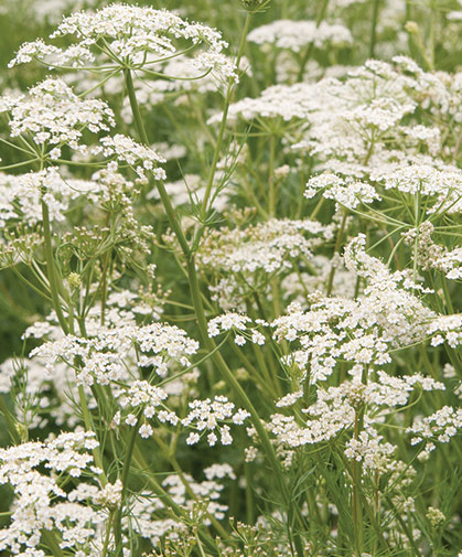 Caraway, a feathery plant with small white flowers, has a sweet warm aroma and flavor similar to other herbs in the Apiaceae family.