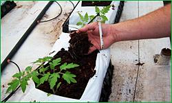 Tomato Transplants in Coconut Coir