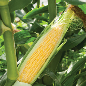 How to Grow Super Sweet Corn