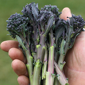 How to Grow Sprouting Broccoli