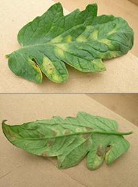 Leaf mold on tomato
