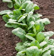 Gazelle Spinach Seeds