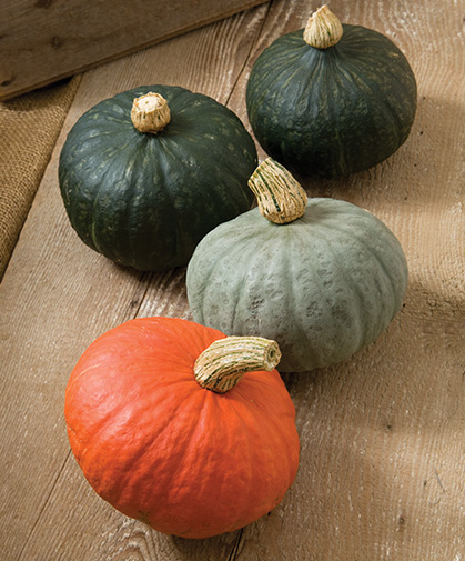 A group of kabocha winter squash fruits of several subtypes and colors: red, grey, and green.