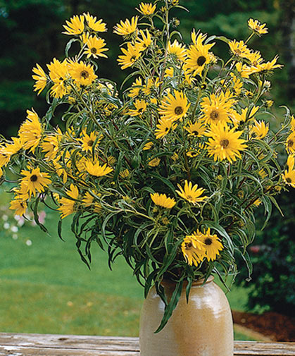An arrangement of perennial sunflowers, a type that demands little maintenance but blooms generously.