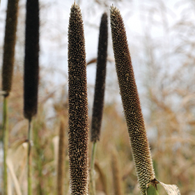 How to Grow Pearl Millet