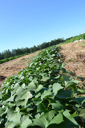 Albion, Maine Sweet potato trial, July 17th.