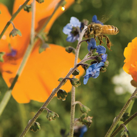 How to Grow Bee Feed Flower Mix