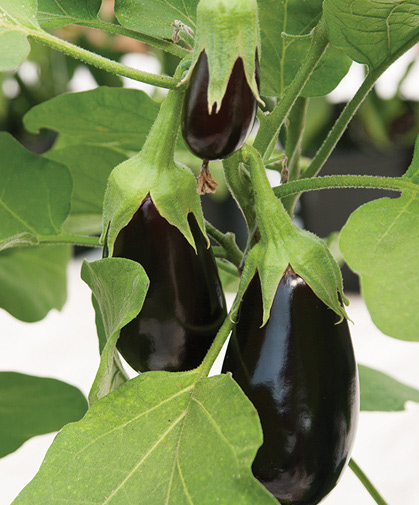The tender, deep-purple skin of these 3 developing eggplants is protected by their calyxes.