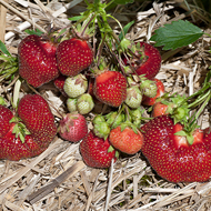Earliglow Strawberry Plants