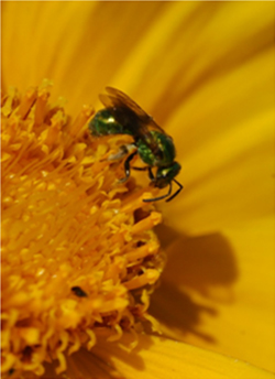 Emerald green bee