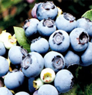 Northland Blueberry