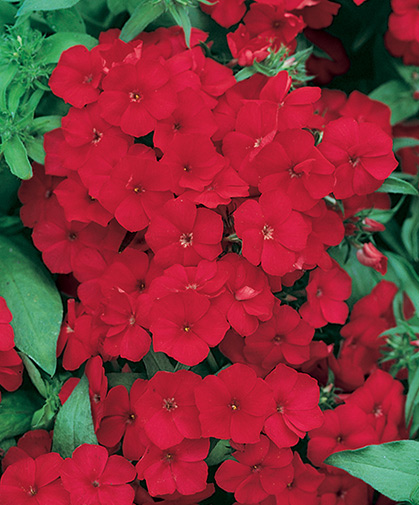 Bright cherry-red phlox flowers, just one cultivar among a large, colorfully diverse, easy to grow group.