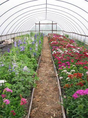 Growing flowers in a hoophouse can be rewarding.