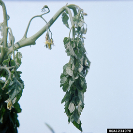 Bacterial wilt on tomato