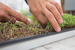 Harvesting Gem Marigold Microgreens