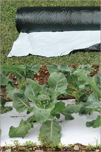 Broccoli on 2-sided Mulch