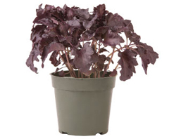 Container-grown Purple Ruffles Basil Plant