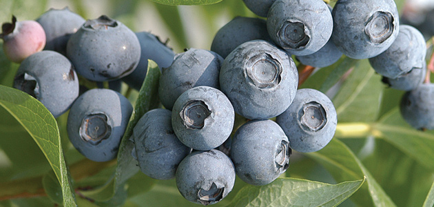 Growing Information for Fruit Plants, Plugs & Seeds