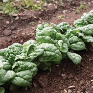 Hammerhead Spinach Seeds