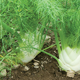 How to Grow Pelleted Fennel Bulb