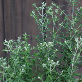 How to Grow Mountain Mint