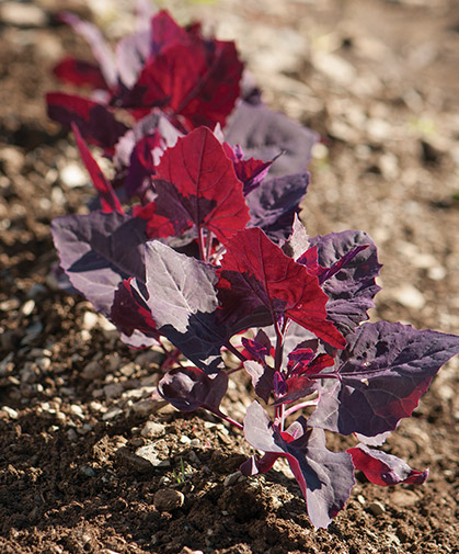 A row of orach; this plant can be pinched back to encourage production and retard bolting; delicious in salads.