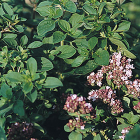 How to Grow Wild Marjoram