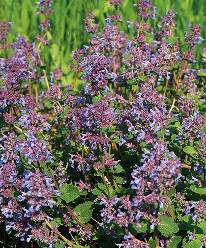 Catmint, an easy-to-grow, aromatic herb clusters of lavender-blue flowers amid mounds of gray-green foliage.